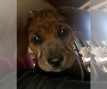 Small Photo #2 America Bandogge Mastiff-Mastiff Mix Puppy For Sale in FORT GARLAND, CO, USA