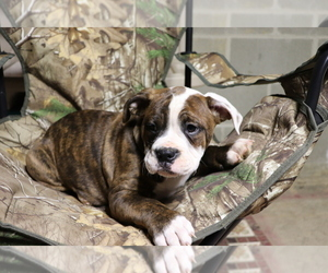 Olde English Bulldogge Puppy for sale in SHILOH, OH, USA