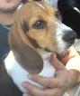 Beagle Puppy For Sale in ALBUQUERQUE, NM, USA