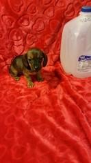 Dachshund Puppy For Sale in DAYTON, OH, USA