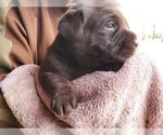 Image preview for Ad Listing. Nickname: Chocolate Lab