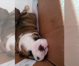 Bulldog Puppy for Sale in MACON, Georgia USA