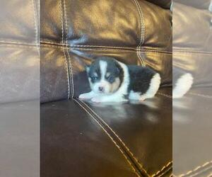 Pomsky Puppy for sale in FINLAYSON, MN, USA