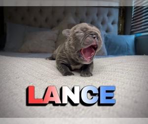 French Bulldog Puppy for Sale in FRESNO, California USA