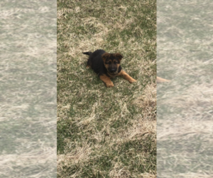 German Shepherd Dog Puppy for Sale in MONEE, Illinois USA