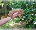 Puppy 4 Vizsla