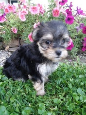 Morkie Puppy For Sale in SUGARCREEK, OH, USA