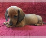 Small Photo #1 Dachshund Puppy For Sale in GRANBY, CT, USA