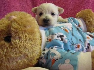 West Highland White Terrier Puppy For Sale in MOUNTAINBURG, AR