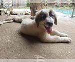Small #1259 Anatolian Shepherd-Maremma Sheepdog Mix