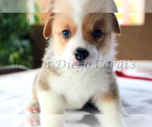 Pembroke Welsh Corgi Puppy for sale in SAN DIEGO, CA, USA