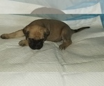 Small #44 Mastiff