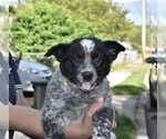 Puppy 2 Australian Cattle Dog-Border Collie Mix