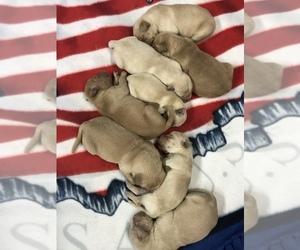 Golden Retriever Puppy for sale in NICOLLET, MN, USA
