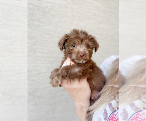 Maltipoo Puppy for sale in LAKE HAVASU CITY, AZ, USA