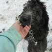 Saint Berdoodle Puppy For Sale in CHASKA, MN, USA