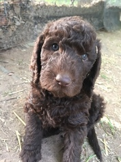 Labradoodle Puppy For Sale in WATERLOO, SC, USA