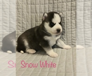 Siberian Husky Dog for Adoption in DEARBORN, Missouri USA
