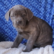 Cane Corso Puppy For Sale in GAP, PA, USA
