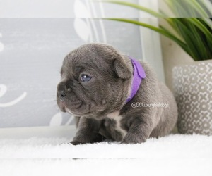 French Bulldog Puppy for sale in CHANTILLY, VA, USA