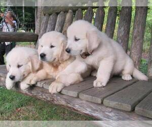 English Cream Golden Retriever Puppy for Sale in MILLVILLE, Massachusetts USA