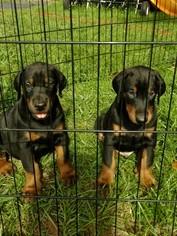 Doberman Pinscher Puppy For Sale in ALACHUA, FL, USA