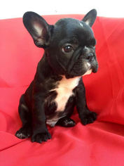 French Bulldog Puppy for sale in GAINESVILLE, FL, USA