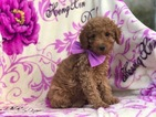 Poodle (Miniature) Puppy For Sale in EAST EARL, PA,