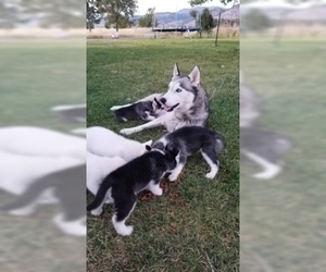 Mother of the Siberian Husky puppies born on 01/30/2019