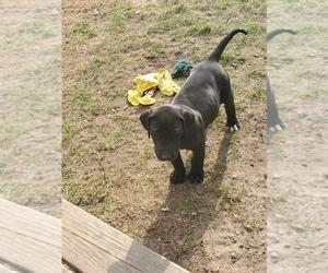 Great Dane Puppy for sale in CADILLAC, MI, USA
