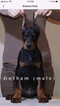 Direct from Europe Doberman puppies