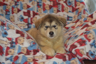 Alaskan Malamute Puppy For Sale in VERO BEACH, FL