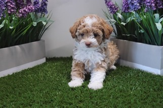 View Ad Poodle Toy Puppy For Sale Nevada Las Vegas Usa