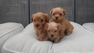 Yorkie-Poo-Yorkiepoo Mix Puppy For Sale in GOOSE CREEK, SC