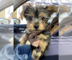 Yorkshire Terrier Puppy for sale in RUTLAND, MA, USA