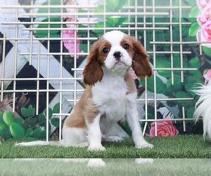 Cavalier King Charles Spaniel Puppy for sale in MARIETTA, GA, USA