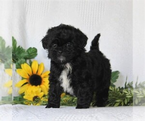 ShihPoo Puppy for sale in QUARRYVILLE, PA, USA