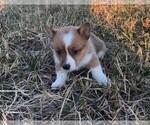 Small Photo #2 Pembroke Welsh Corgi Puppy For Sale in ORONOGO, MO, USA
