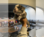 Small Photo #9 American Bully Puppy For Sale in CORLISS, PA, USA