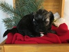 Havanese Puppy For Sale in MILLERSBURG, IN,