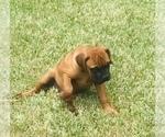 Small #1 Bullmastiff