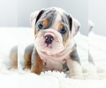 Puppy 6 English Bulldog