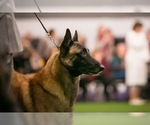 Belgian Malinois Puppy For Sale in HARKER HEIGHTS, TX, USA