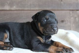 Doberman Pinscher Puppy for sale in MORGANTON, NC, USA