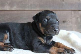 Doberman Pinscher Puppy For Sale in MORGANTON, NC