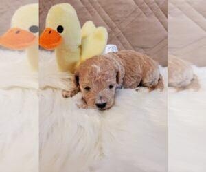 Poo-Ton Dog for Adoption in ROCKFORD, Michigan USA