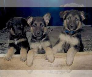 German Shepherd Dog Puppy for sale in OTTAWA HILLS, OH, USA