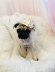 Pug Puppy For Sale in SAN PEDRO, CA, USA