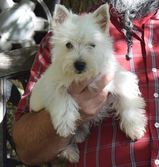 West Highland White Terrier Puppy For Sale in INWOOD, WV