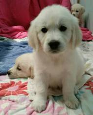 Golden Retriever Puppy For Sale in CHICAGO, IL